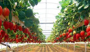 Бизнес план по выращиваю клубники на гидропонике